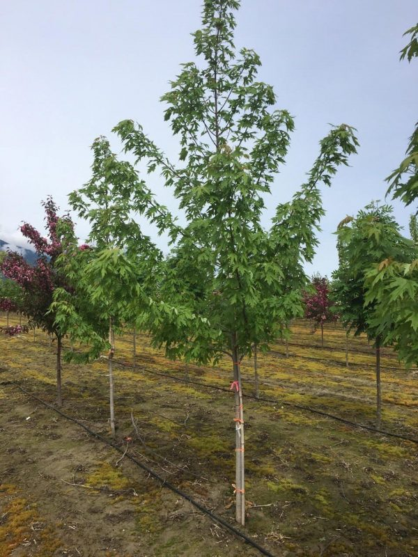 Acer saccharinum 'Silver Cloud'
