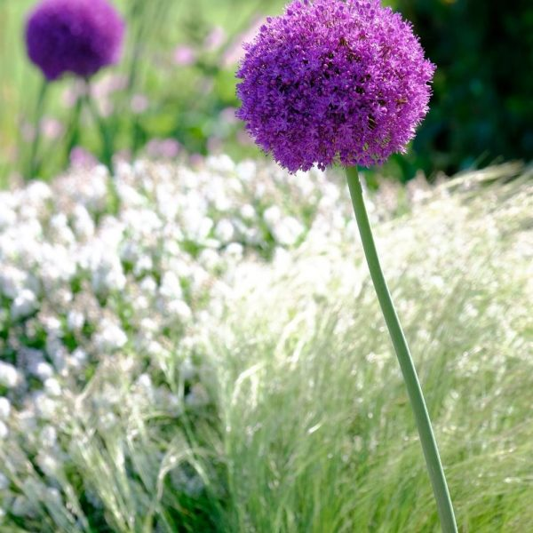Allium globemaster tops